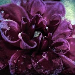 Purplish Blue Dahlia
